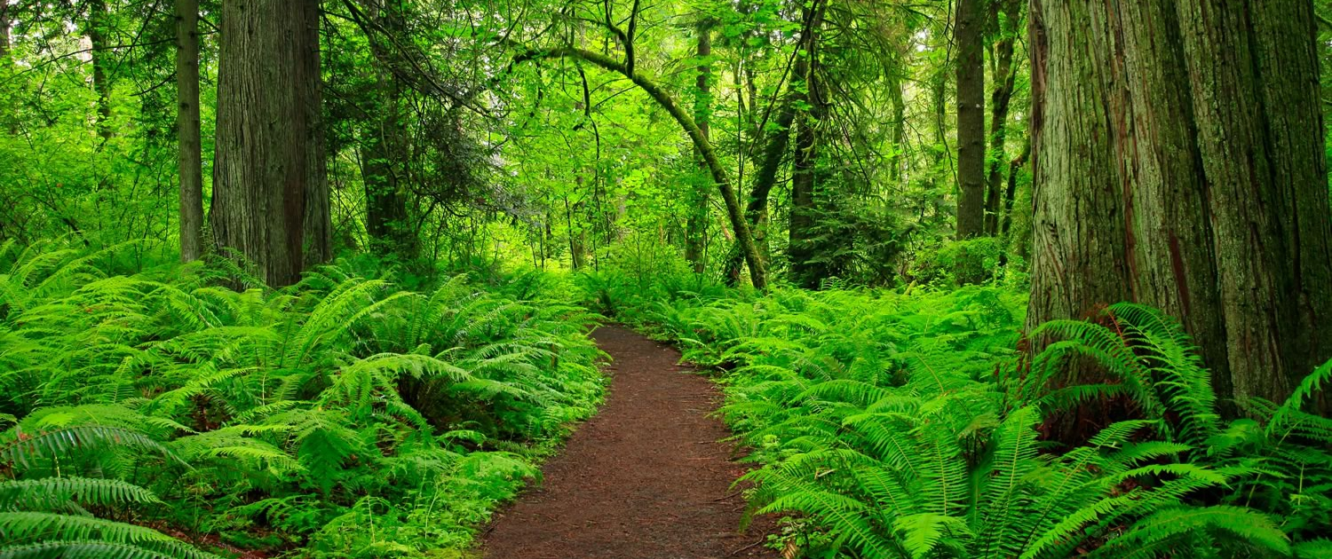 path through a green forest
